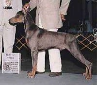 CH. Meroke's Bugsy Moran the Doberman Pinscher is posing at a dog show. There are two people standing behind him