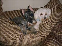 Two small dogs on a couch - A black with tan Miniature Schnauzer is laying on the back of a large couch pillow cushion and next to it is a white Maltese.