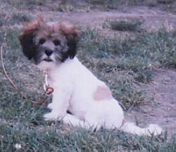 A white with brown and black Lhasa Apso puppy is sitting in grass and looking to the left of its body. Its head is dark in collar and its body is light colors.