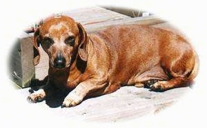 Duddy the Dachshund laying on a wooden porch
