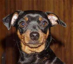 Close up head shot - a Miniature Pinscher puppy is sitting in front of a wooden wall.