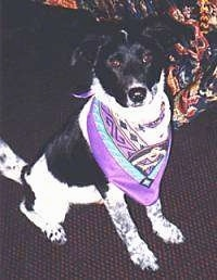 A black and white ticked Australian Cattle Dog/Border Collie mix is sitting on a dark purple carpet in front of a colorful bed. It is wearing a purple bandana.