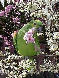 A yellow-crowned Amazon Parrot is standing on a tree limb. Its head is towards the right and it is looking forward. It has a stick with pink flowers on the end of it in its mouth.