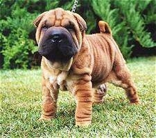 Front side view - A small, wrinkly, tan Chinese Shar-Pei puppy is standing across a field and it is looking forward. There is a bush behind it. The dog's tail is curled up over its back.