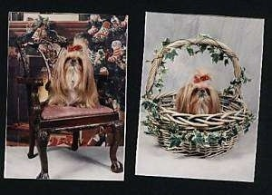 Left Photo - A longhaired tan with white Shih Tzu is sitting on a fancy chair, it has a red ribbon in its hair and it is looking forward. Right Photo - A tan with white Shih Tzu is sitting in a wicker basket, its has a red ribbon in its hair and it is looking up and to the right.