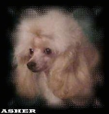 Close up head shot - A tan Toy Poodle dog looking to the left. The dog has fluffy teased hair on its head, long soft drop ears, shorter hair on its muzzle, a black nose and round black eyes.