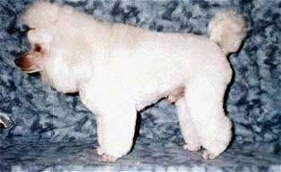 The left side of a white Toy Poodle that is standing across a stone surface, its head is level with its body and it is looking to the left. It has a fluffy pom pom of hair on the end of its tail and long thick hair on its head.