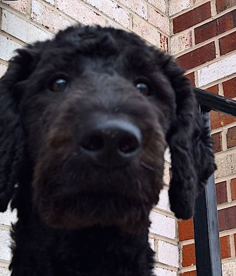 A curly coated, wavy black dog with round black eyes and a big black nose sitting on the step in front of a brick house. Its ears hang down to the sides.