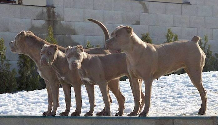 Four silver-tan dogs lined up in a row on a cinder block wall. The first dog has its long tail up in the air, the two dogs in the middle are younger puppies and the dog on the end has a small docked tail. They all have their ears cropped very small.
