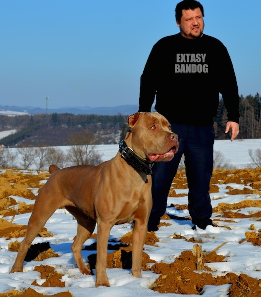 A large breed, shiny coated, golden tan dog with golden yellow eyes standing in the snow next to a man in a black sweatshirt that says 'EXTASY BANDOG' The dog has a wide chest, very short cropped ears and a docked tail. It is wearing a thick black leather collar