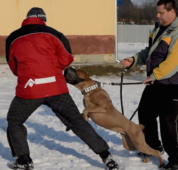 A muscular large breed dog wearing a black muzzle lunging at a man in a red and black coat and a ski hat. There is a second man holding the dog back.