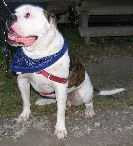 The front left side of a brindle and white American Bulldog that is sitting on a sidewalk. Its mouth is open, its tongue is out, it is looking up and to the left.