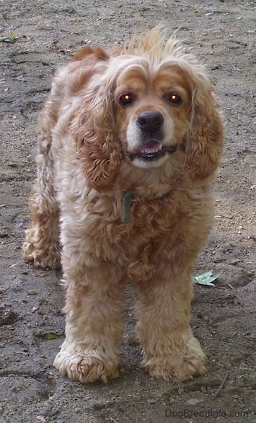 A tan American Cocker Spaniel dog that has long with hair sticking up. Is standing in dirt, it is facing forward and its bottom teeth showing.