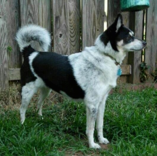 The right side of a black and white with tan American Eagle Dog dog that is standing in a grassy yard, next to a wooden fence. Its tail is curled up over its back.