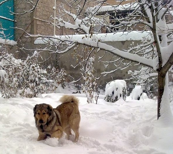 A thick-coated tan with black Armenian Gampr is playing in deep snow out in a yard next to a tree behind it.