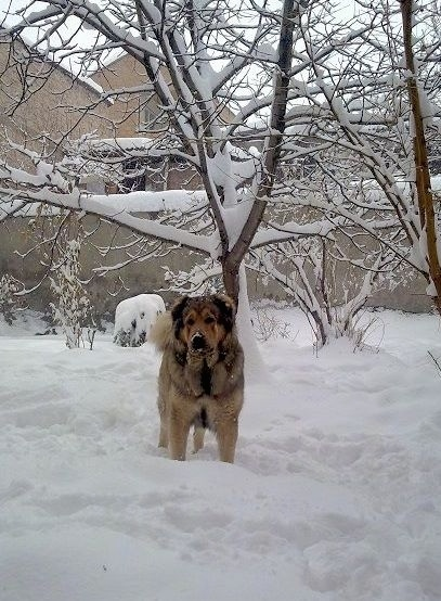 A tan with black Armenian Gampr is standing in deep snow, it is looking forward and there is a tree covered in snow behind it.