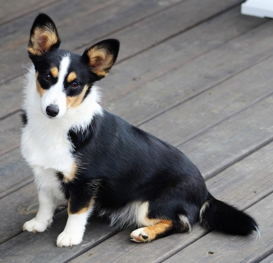 The left side of a black with white and tan Aussie-Corgi that is sitting across a hardwood porch and it is looking forward.