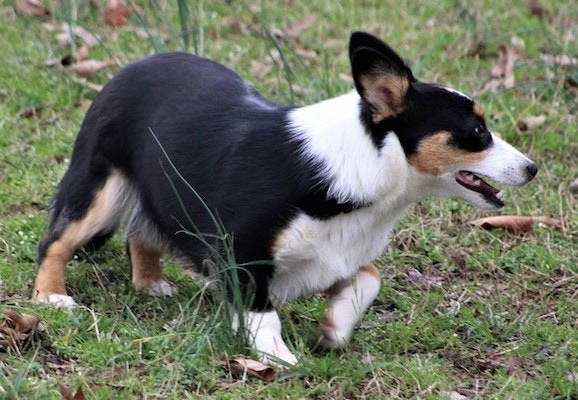 The front right side of a black with white and tan Aussie-Corgi that is walking to the right across a grass surface and it is looking to the right.