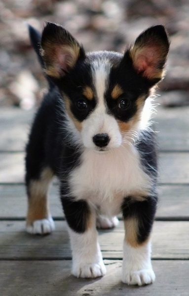 Front view of a black, tan and white little puppy with short legs, big perk ears that stand up, a black nose and dark wide eyes standing on a wooden deck outside in the sunshine.