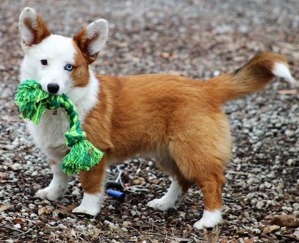 The left side of a red with white Aussie-Corgi puppy that is standing across a gravely surface, it is looking forward and it has a green rope toy in its mouth.