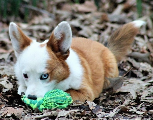 Front view - A reddish tan and white dog laying down in brown fallen leaves with a green rope toy in front of him. He has large perk ears, one dark eye and one blue eye and a fluffy long tail. His ears are wide set far apart and his nose is black.