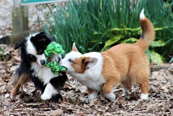 A fluffy little black, white with tan dog playing tug of war with a short legged reddish tan long bodied dog with a long fluffy tail. There are green plants behind them and they are on brown fallen leaves.