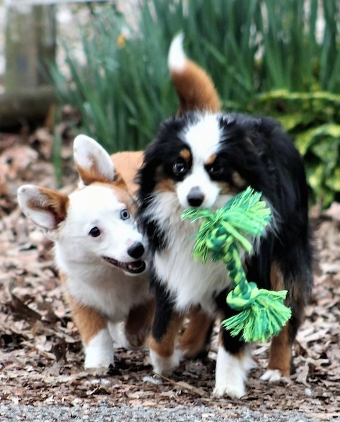 Front view - A fluffy little black, white with tan dog with a green rope toy in his mouth. A short legged reddish tan long bodied dog with one blue eye and one dark eye is trying to get the toy from him.