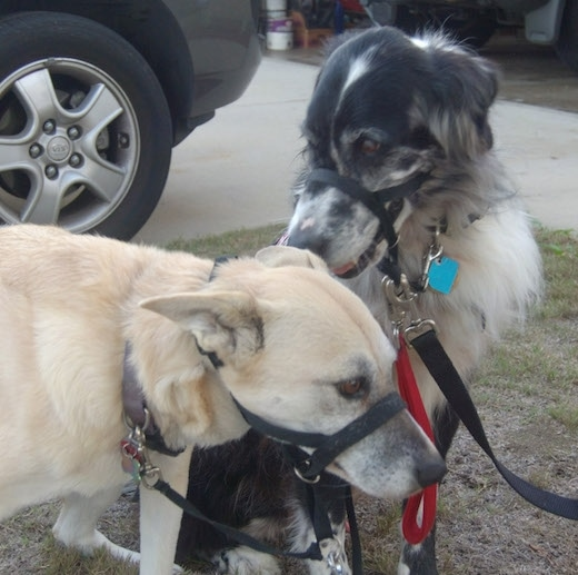 A black and white Australian Retriever is wearing a black gentle leader collar and it is sitting down next to a tan large breed dog who is wearing a black gentle leader collar. The Australian Retriever is sniffing the head of the large breed dog.