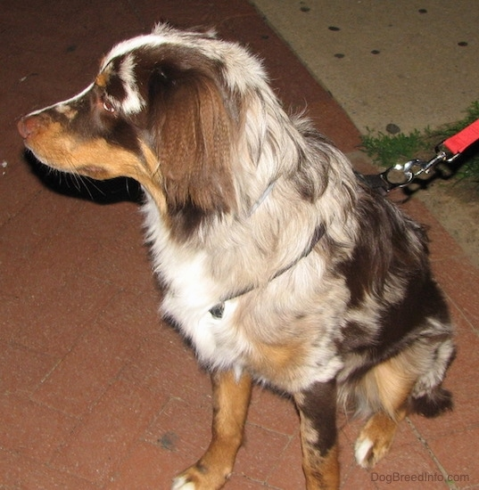 Front size view - A medium haired tan, brown and white splattered patterned dog with a liver brown nose, a long thin snout and ears that hang down to the sides with longer hair on them sitting on a red brick sidewalk wearing a red leash looking to the left.
