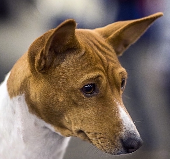 Basenji Dog Breed Pictures 2
