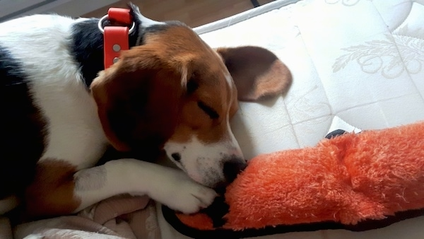 The right side of a tri-color beagle that is sleeping in front of a door and there is a plush doll in front of it.