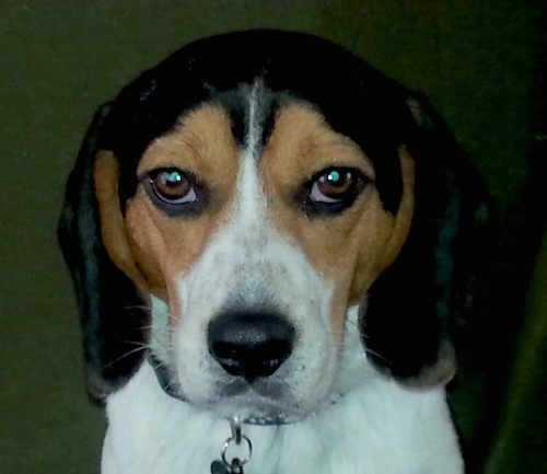 Front view head shot of a tricolor black, tan and white Beagle dog with a black nose and almond shaped brown eyes. The dog's face is symmetrical.