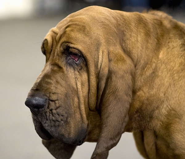 Close up head shot of a large wrinkly headed, drop eared dog with a lot of extra skin and droopy eyes.