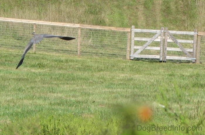 A large blue bird with its wings spread flying over a grassy field with a wooden and wire fence in the distance.