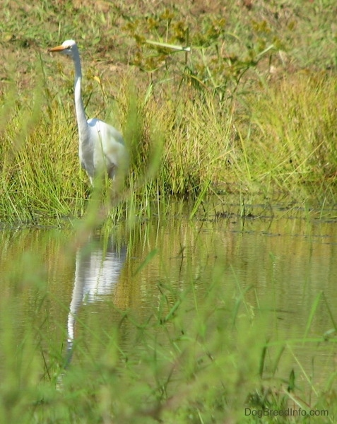 Front view of a tall white bird with a long skinny neck and a long orange beak standing at the edge of water in tall green grass. You can see the birds reflection in the water.