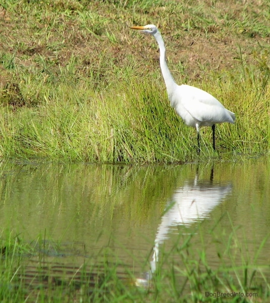 A tall white bird with a long skinny neck, long orange beak standing at the edge of a grassy pond bank with its reflection showing in the water below.