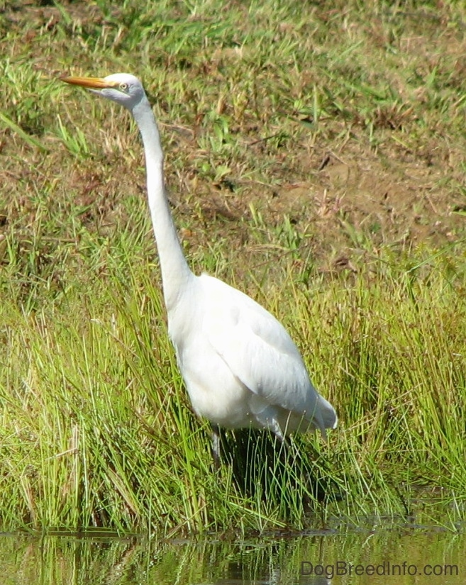 A tall white bird with a very long skinny neck and long legs with a long orange beak standing on the bank of a pond.