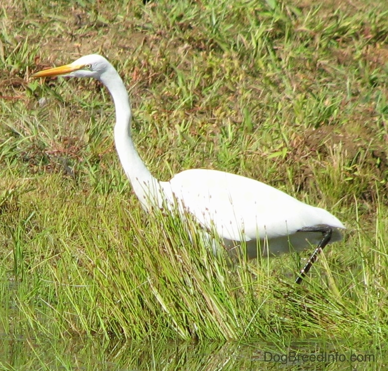 A large white bird with an orange beak and yellow eyes standing in tall grass next to water.