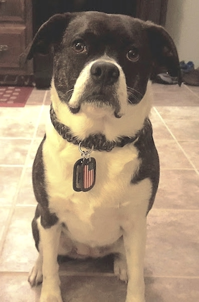 Front view of a wide chested small breed dog with a boxy looking snout sitting on a tan tiled floor. The  dog is dark brown brindle with white on its chest, belly and paws with a black nose and wide brown eyes. Its ears hang down to the sides of its head. It has an American flag tag hanging from its collar.