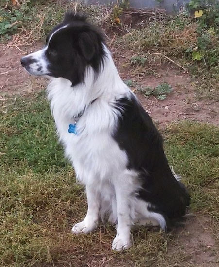 Side view of a medium-haired black and white dog sitting in the grass looking to the left. He has thick hair on his chest, fringe hair on his ears and a long snout with short hair and a black nose.