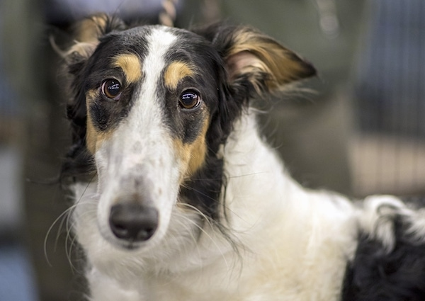 Close up head and neck shot of a long snouted tricolor white, black and tan dog with a black nose, wide brown eyes and small rose shaped ears that are pinned back against the dog's head. The dog has white whiskers.