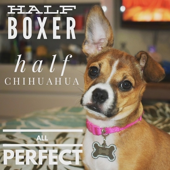 Close up - The front left side of a tan with white and black Boxachi that is sitting on a couch, one ear is up, the other is flopped over and it is looking forward. The words 'Half Boxer Half Chihuahua All Perfect' are written on the image.