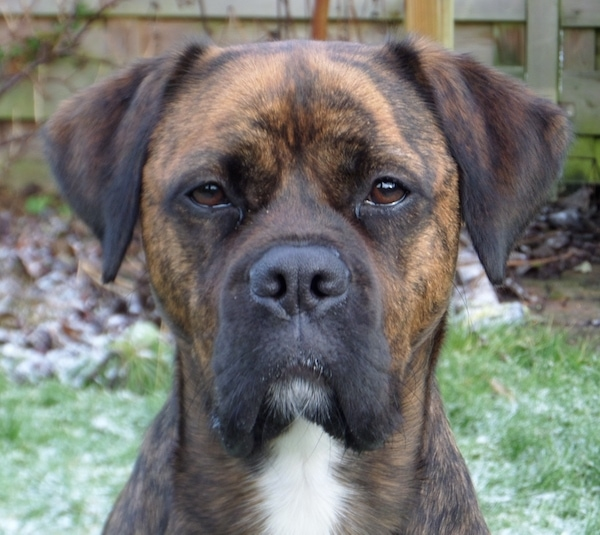 Close up head shot - A brown brindle dog with brown almond shaped eyes and long v-shaped ears that hang over to the front and a white chest looking forward with a wooden privacy fence behind it. The dog's nose is black.
