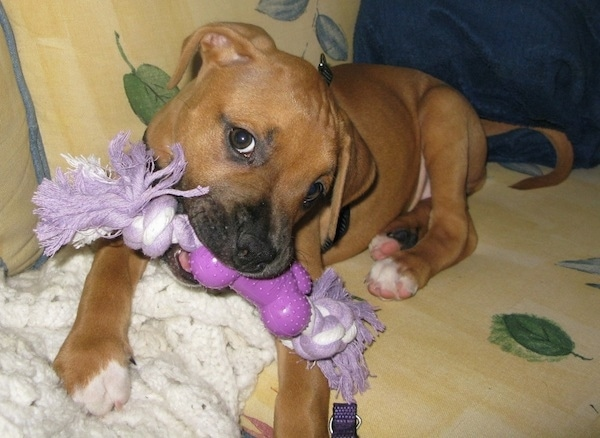 Front view of a brown large breed puppy with black on its snout, dark brown eyes, white on the tips of her paws and a long tail laying down on a yellow floral print couch chewing on a purple rope toy laying on tip of a white blanket. The dog's ears hang down to the sides.