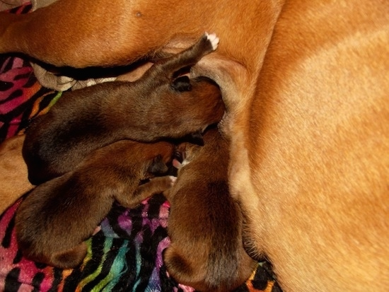A litter of tiny Boxer puppies nursing from their tan mother. Three puppies are dark brown with black.