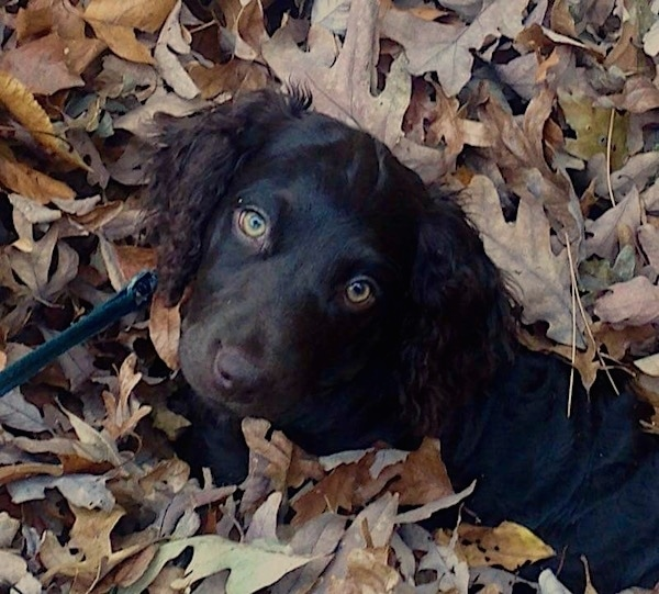 A little brown puppy with light golden brown eyes and a dark shiny brown coat with longer wavy hair on its ears laying in a pile of brown leaves with her head popping out and head tilted to the right.