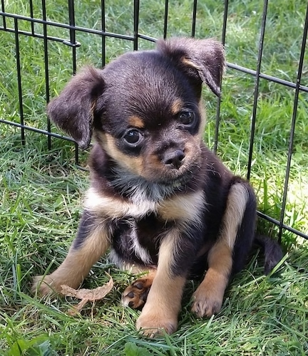 The front left side of a black with tan Brusselranian puppy that is sitting in grass, it is looking to the right and its head is tilted to the left.