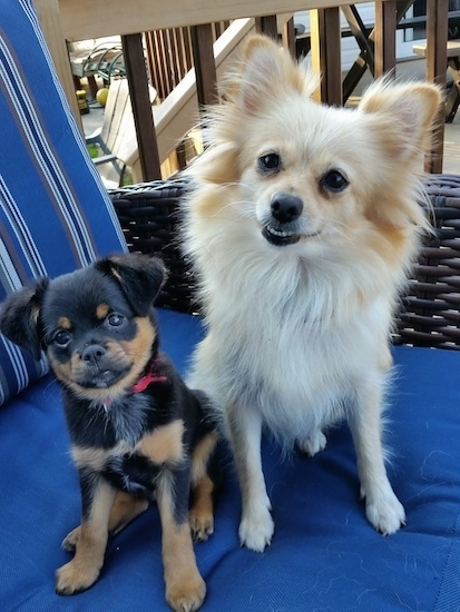 A black with tan Brusselranian puppy is sitting on a blue lawn chair next to a tan Pomeranian.