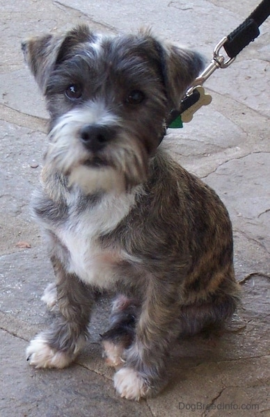 Front side view - A soft looking small brown brindle dog with a beard and small ears that fold over to the front sitting on a stone porch looking at the camera connected to a black leash. It has white on its chest, snout and tips of its paws.