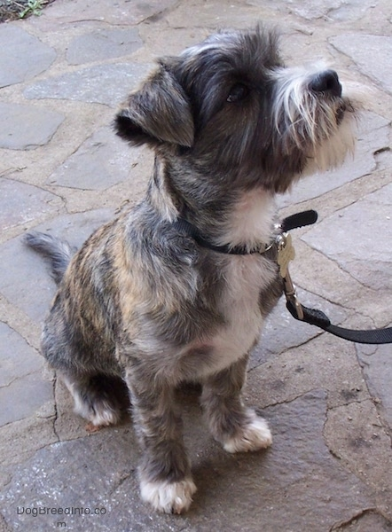 Front side view - A soft looking small brown brindle dog with a beard and small ears that fold over to the front sitting on a stone porch looking up and to the right. It has white on its chest, snout and tips of its paws and a shaved coat with longer hair on its face.